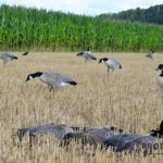 Canada goose hunting decoys