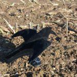 Fliegende Lockkrähe Vollkörper beflockt